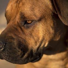 Comment gérer un chien dominant au quotidien ?