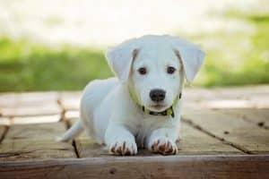 Chiot blanc trop beau