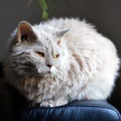 Chat qui se laisse aller sur le canapé comment nettoyer?