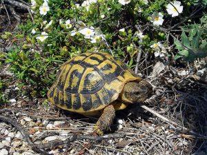 Une tortue à Majorque