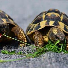 La tortue d'Hermann une tortue terrestre Intrigante