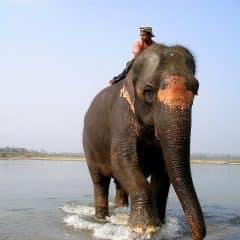 L'éléphant et son soigneur (le cornac) : Une histoire sans amour