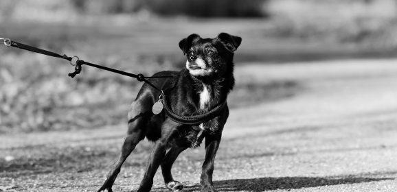 Quelle laisse choisir pour un chien qui tire en promenade ?