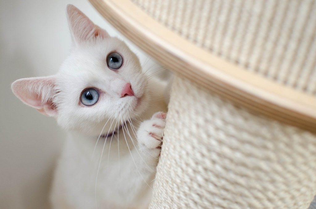 Chat blanc faisant ses griffes sur un griffoir