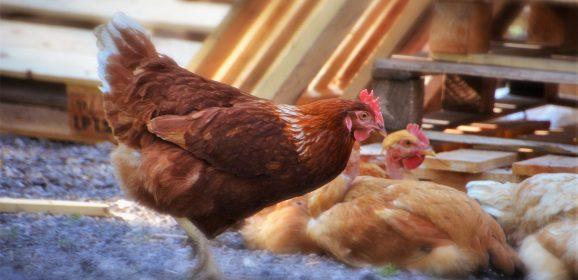 Quel matériel choisir pour l'élevage avicole ?